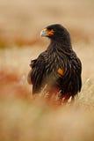 Ritratto del caracara di Strieted delle rapaci, Phalcoboenus australe, sedentesi nell'erba, Falkland Islands, Argentina Fotografia Stock