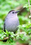 Ritratto del catbird immagini stock libere da diritti