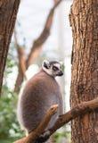 Ritratto del catta delle lemure delle lemure catta Immagini Stock