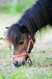 Ritratto del cavallino Fotografie Stock Libere da Diritti