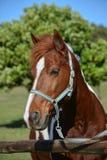 Ritratto del cavallino Immagini Stock Libere da Diritti