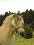 Ritratto del cavallino del fiordo nel campo con headcollar immagine stock libera da diritti
