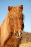 Ritratto del cavallino di Shetland Immagine Stock