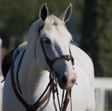 Ritratto del cavallo Immagini Stock Libere da Diritti