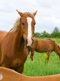 Ritratto del cavallo Fotografia Stock Libera da Diritti