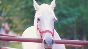 Ritratto del cavallo bianco che controlla il recinto archivi video