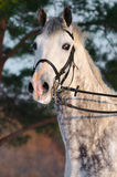 Ritratto del cavallo bianco di dressage immagine stock libera da diritti