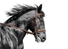Ritratto del cavallo in bianco e nero nella briglia marrone Immagine Stock