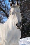 Ritratto del cavallo bianco in inverno fotografie stock libere da diritti