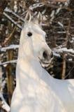 Ritratto del cavallo bianco in inverno fotografia stock libera da diritti
