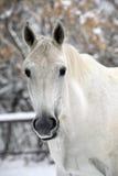 Ritratto del cavallo bianco nel fondo di legni di inverno Fotografie Stock