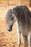 Ritratto del cavallo bianco nel manege Fotografia Stock Libera da Diritti