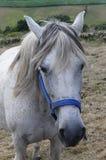 Ritratto del cavallo bianco in Spagna Fotografia Stock Libera da Diritti