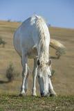 Ritratto del cavallo bianco su sfondo naturale fotografie stock libere da diritti