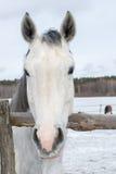 Ritratto del cavallo bianco in una penna nell'inverno Fotografie Stock Libere da Diritti