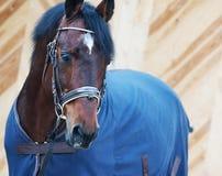 Ritratto del cavallo in cavallo-copertura Fotografie Stock Libere da Diritti
