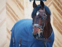 Ritratto del cavallo in cavallo-copertura Immagine Stock Libera da Diritti