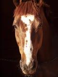Ritratto del cavallo dell'acetosa nello scuro Fotografie Stock