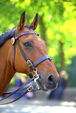 Ritratto del cavallo della castagna Immagini Stock