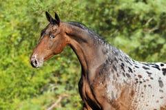 Ritratto del cavallo di Appaloosa in estate Fotografie Stock Libere da Diritti