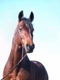 Ritratto del cavallo di baia a cielo blu Immagini Stock Libere da Diritti