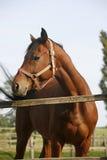 Ritratto del cavallo di baia di razza piacevole al ritratto di estate della porta del recinto per bestiame del cavallo di baia di Immagini Stock Libere da Diritti