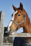Ritratto del cavallo di baia di razza piacevole alla porta del recinto per bestiame Fotografia Stock Libera da Diritti