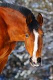 Ritratto del cavallo di baia in foresta immagini stock