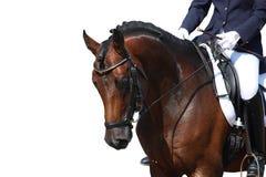 Ritratto del cavallo di baia isolato su bianco Fotografie Stock Libere da Diritti