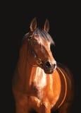 Ritratto del cavallo di baia isolato sul nero Fotografia Stock