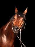 Ritratto del cavallo di baia isolato sul nero Fotografia Stock Libera da Diritti