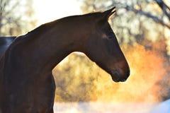 Ritratto del cavallo di baia nell'inverno con le coppie dorate fotografia stock