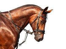 Ritratto del cavallo di baia su un fondo bianco Fotografia Stock Libera da Diritti