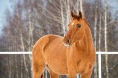 Ritratto del cavallo di Don dell'oro sul fondo di inverno fotografia stock libera da diritti