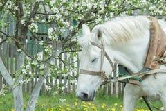 Ritratto del cavallo di lavoro bianco facente un pisolino al fondo di fioritura della molla dell'albero da frutto Immagini Stock Libere da Diritti