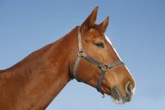 Ritratto del cavallo di razza piacevole dell'oro della castagna alla porta del recinto per bestiame Fotografia Stock