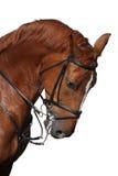 Ritratto del cavallo di sport di Brown isolato su bianco Immagine Stock