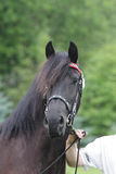 Ritratto del cavallo friese nero alla manifestazione Fotografia Stock