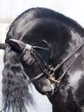 Ritratto del cavallo frisone Fotografie Stock Libere da Diritti