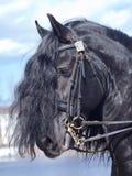 Ritratto del cavallo frisone Fotografia Stock