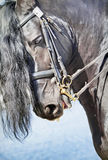 Ritratto del cavallo frisone Fotografia Stock Libera da Diritti