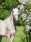 Ritratto del cavallo grigio Fotografia Stock