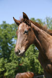 Ritratto del cavallo piacevole del bambino della baia Immagine Stock Libera da Diritti
