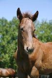 Ritratto del cavallo piacevole del bambino della baia Fotografia Stock