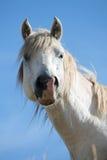 Ritratto del cavallo selvaggio divertente Fotografia Stock Libera da Diritti