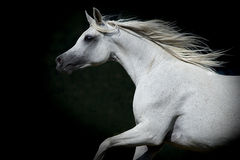 Ritratto del cavallo su un fondo scuro Immagine Stock Libera da Diritti