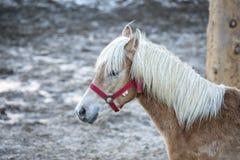 Ritratto del cavallo sulla neve bianca mentre esaminandovi Fotografie Stock