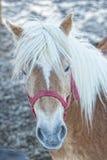 Ritratto del cavallo sulla neve bianca mentre esaminandovi Immagine Stock Libera da Diritti