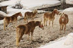 Ritratto del cavallo sulla neve bianca mentre esaminandovi Immagini Stock Libere da Diritti