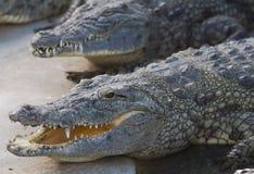 Coccodrillo di Nilo Immagine Stock Libera da Diritti